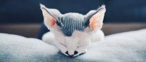 лысый котенок задремал