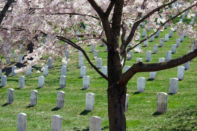 Цветущее дерево на фоне памятников