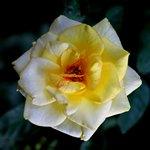Раскрывающийся бутон желтой розы