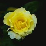 Светло-желтая роза
