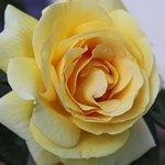 Одна желтая роза