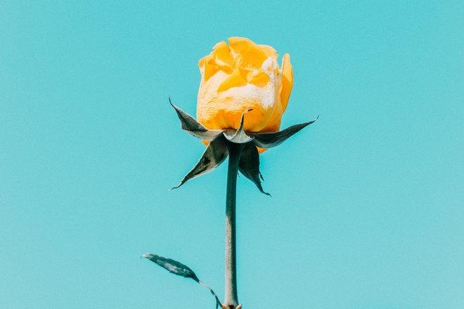 Одинокая желтая роза