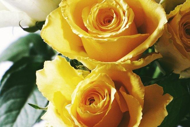 Несколько желтых роз