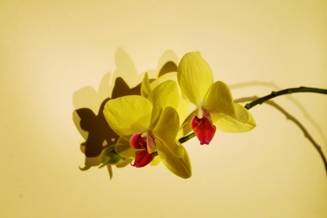 Красно-желтые орхидеи