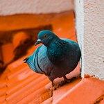 Голубь возле стены дома