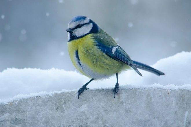 Синица в снежную погоду