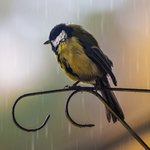 Синица под дождем