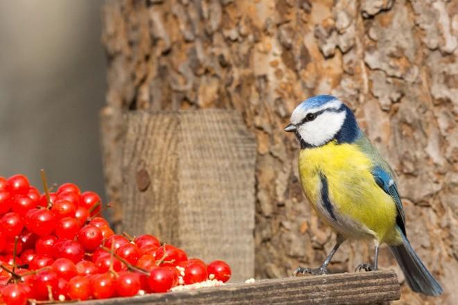 Синица и красные ягоды