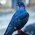 Синеватый голубь