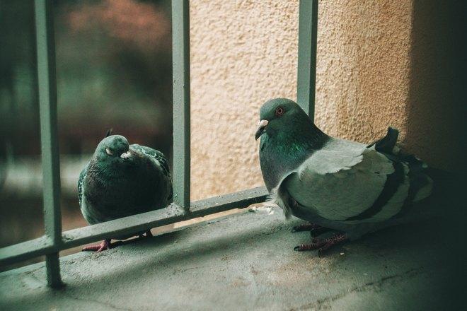 Голуби возле решетки