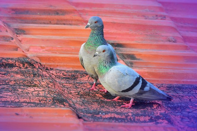 2 сизых голубя