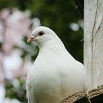 Крупный белый голубь