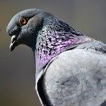 Серо-сиреневый голубь
