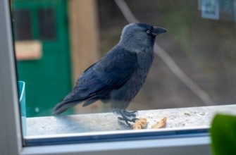 Ворона и крошки за окном