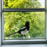 Сорока заглядывает в окно