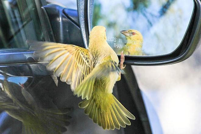Птица возле автомобильного зеркала