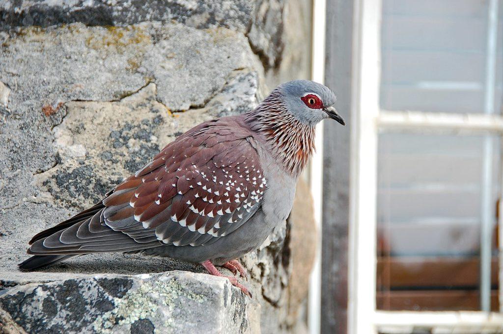 Сомалийский голубь