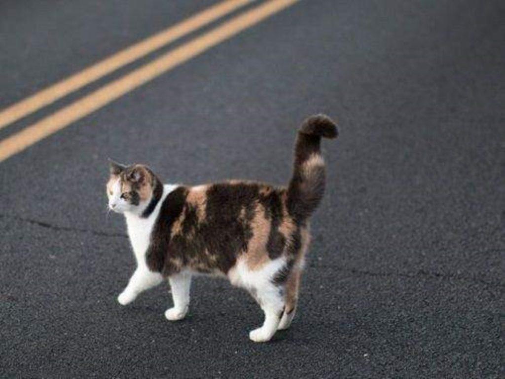 Трехцветная кошка на дороге
