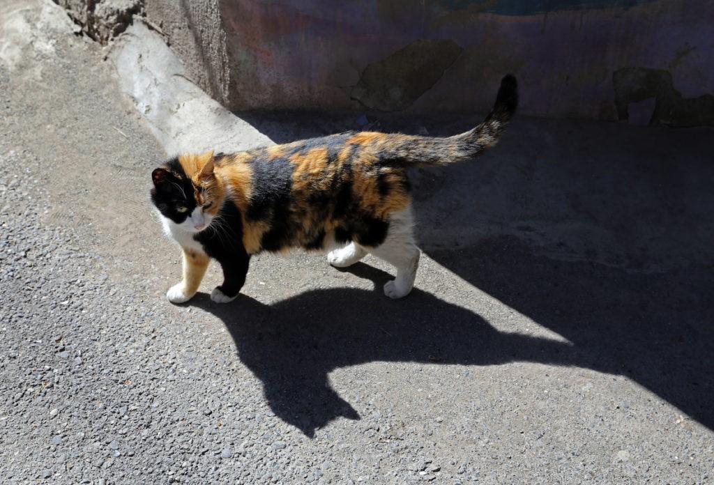 Трехцветная кошка на улице