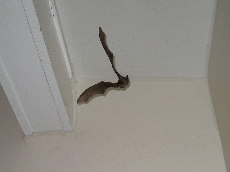 Летучая мышь летает по комнате