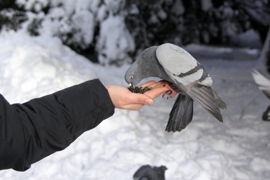 Человек кормит птицу