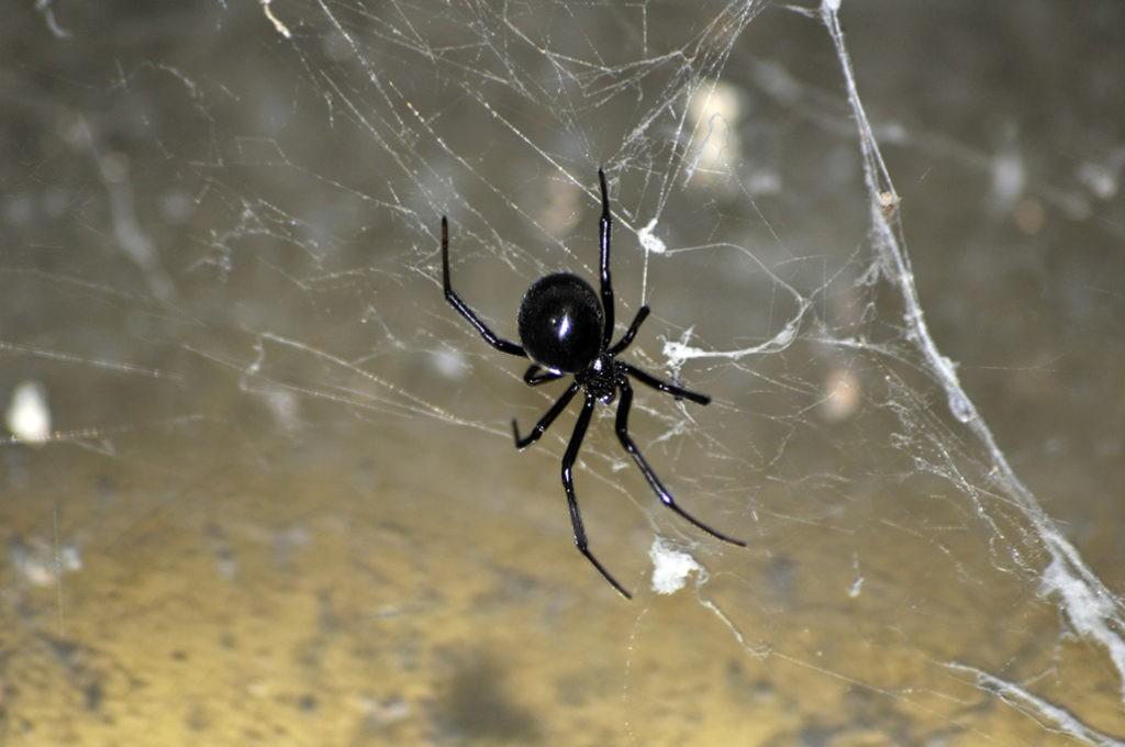 Черный паук на паутине