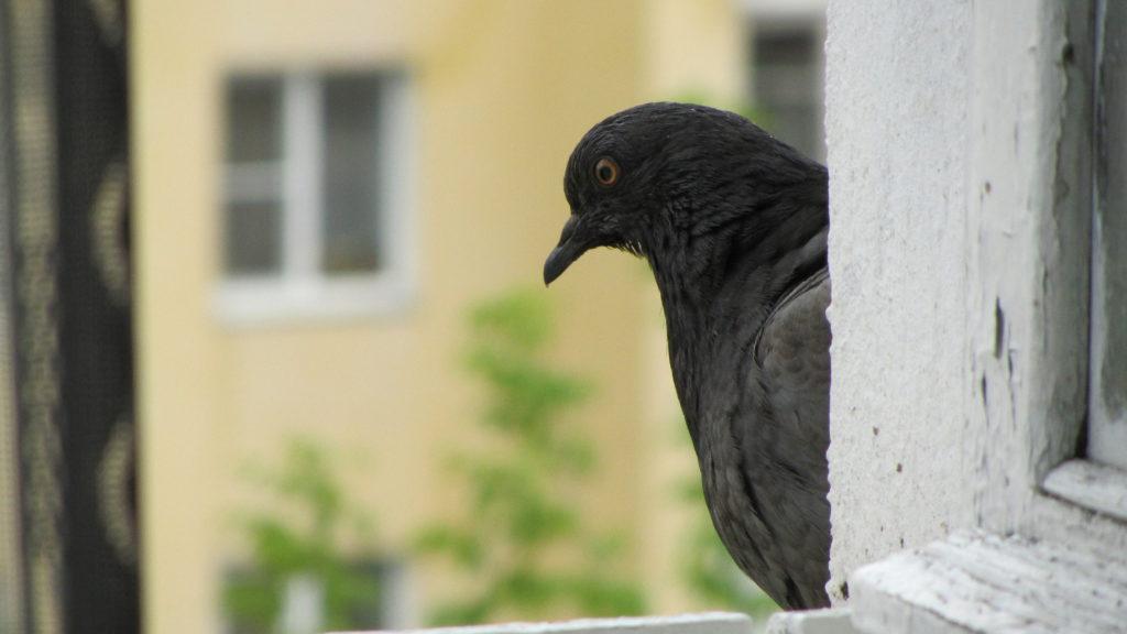 Черный голубь на окне