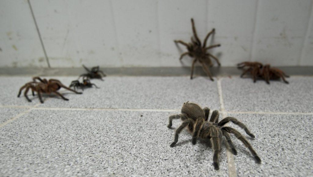 Стая пауков в доме