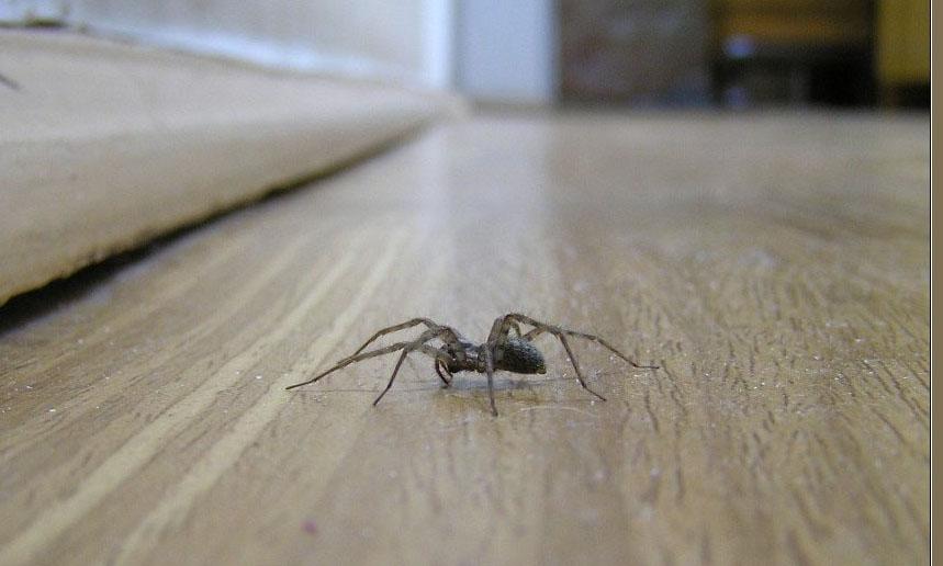 Домовой паук ползет по полу