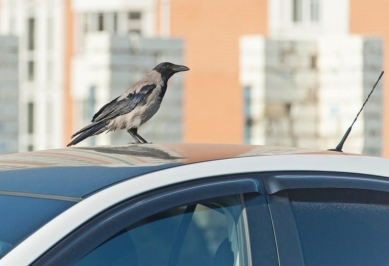 Птица на машине