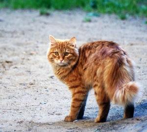 Рыжий кот на дороге
