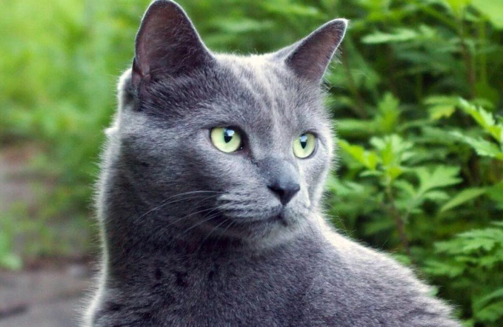 Голубой котик