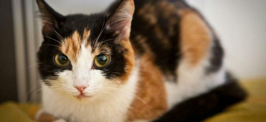 Кот триколор