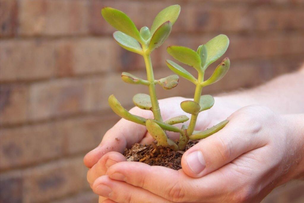 Денежное дерево в руках
