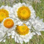 белый сухоцвет амобиум крылатый