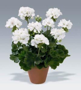 белый цветок в горшке