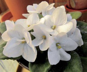 фиалка цветет белыми цветками