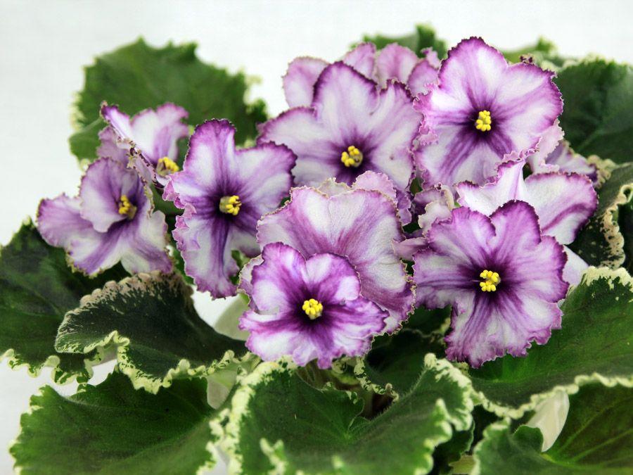 фиалка цветет