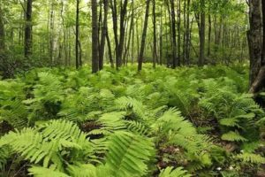 лес с папоротником