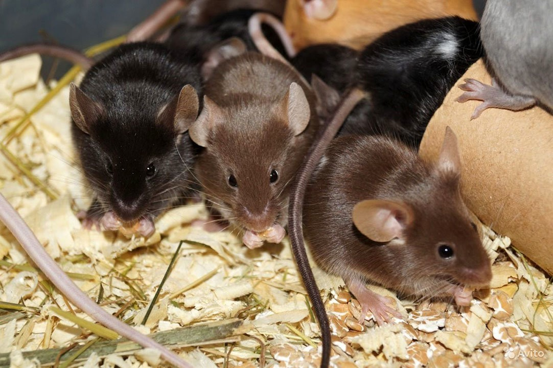 мышки на опилках