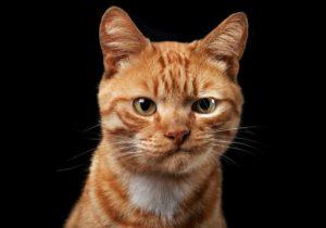недовольный рыжий кот