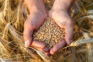 пшеница в ладонях