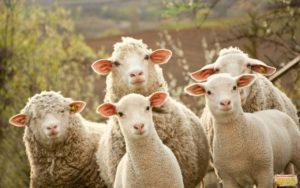 пять овец смотрят прямо