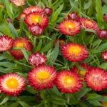 разноцветный сухоцвет гелихризум