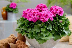 розовый цветок в горшке