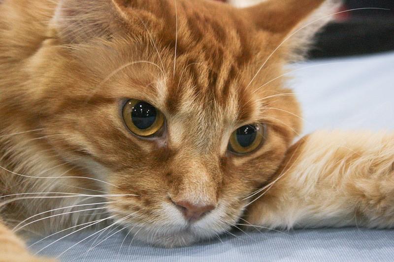 рыжий кот лежит и смотрит вперед