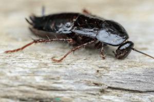таракан на деревянной поверхности