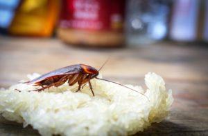таракан сидит на рисе