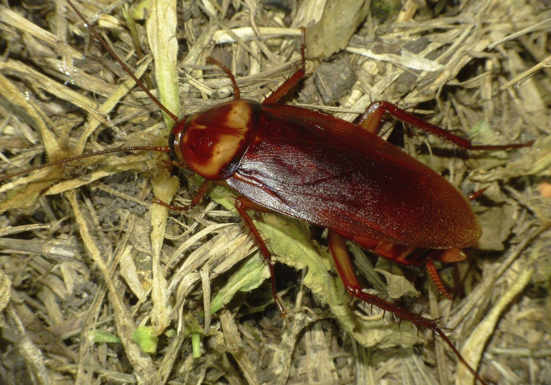 таракан сидит на сене