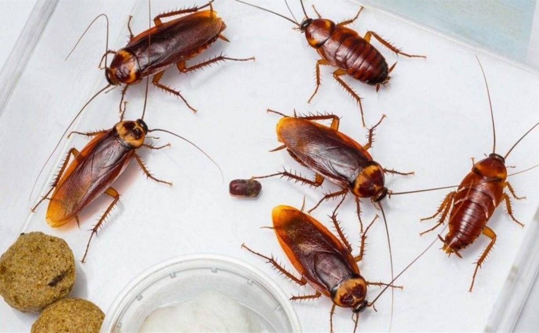 тараканы возле еды